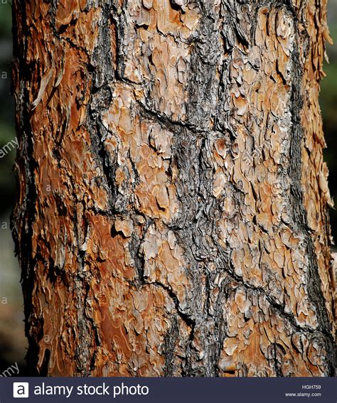 ponderosa pine tree trunk bark in the forest stock photo