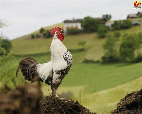 background images red rooster