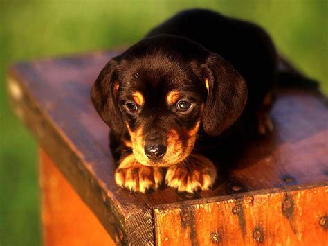 puppy pic puppies images puppy hd wallpaper and background photos 13814822