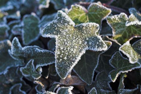 ist efeu winterhart efeu 252 berwintern 187 so kommt er gut durch die kalte jahreszeit
