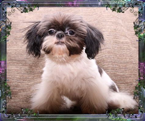 shih tzu china shih tzu imperials pictures to pin on pinsdaddy