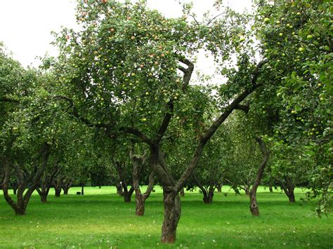 Irrigation Design Software Free file apple orchards in kolomenskoye 22 jpg wikimedia commons