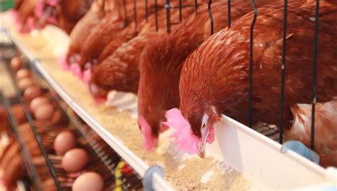 alimento para gallinas ponedora cuanto alimento consume una gallina ponedora consumo de