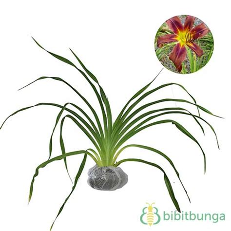Tanaman Violces Ungu tanaman purple violet bibitbunga