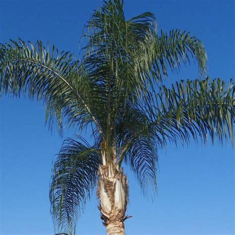 queen palm verdego