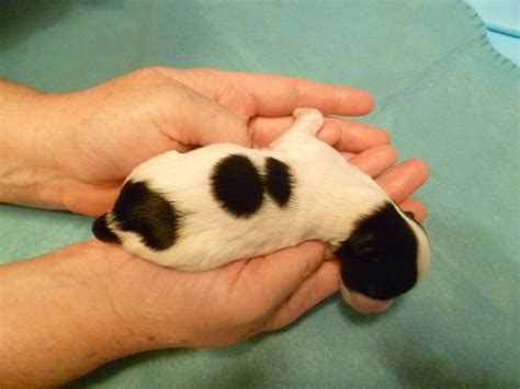puppy spots sold olly oleander hush harbor havanese puppies for sale