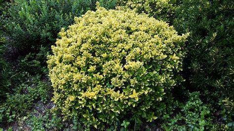 Plants Pests And Diseases - euonymus japonicus aureomarginatus alpine nurseries