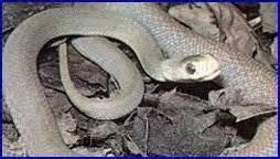 serpenti volanti rettili domestici volanti marini erbivori