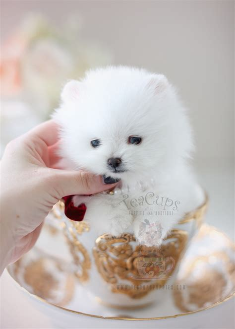 pomeranian puppies for sale in miami teacup pomeranian puppies for sale in miami ft lauderdale teacups puppies boutique