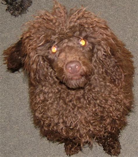 chocolate poodle puppy valley view breeders poodle pictures