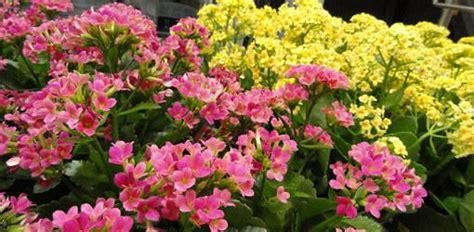 how to grow flowering kalanchoe great tips on how to get