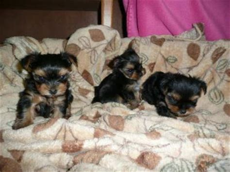 free tiny teacup yorkies healthy tiny teacup yorkie puppies for free adoption