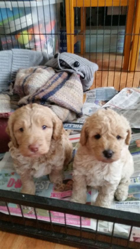 doodle signs camberley only 1 left miniature f1b labradoodle puppies camberley