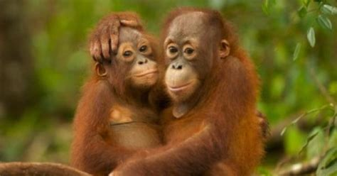pin by suzanne janes on monkeys chimps and all that jive orangutan primate and