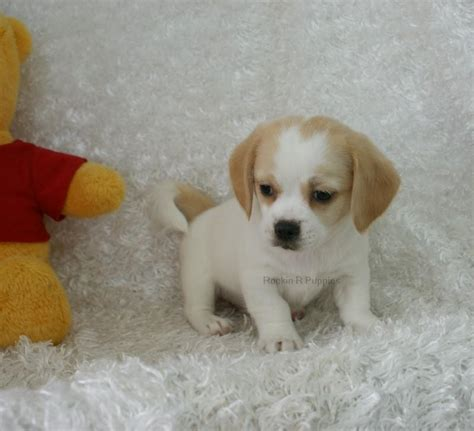 peagle puppies puppy gallery breeds picture