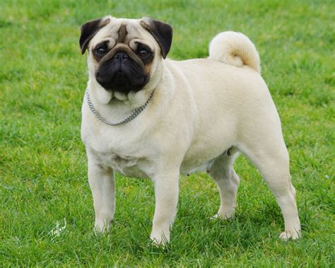 history of pug dogs the pug breed profile australian lover