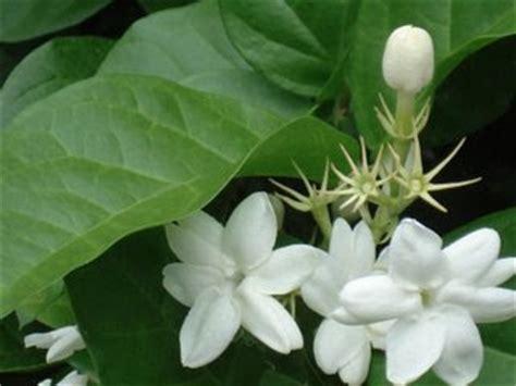 gambar bunga melati putih indah gambar foto wallpaper