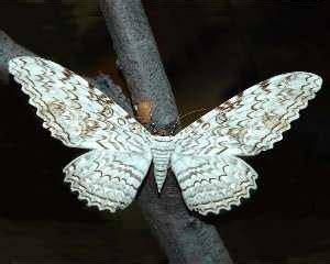 imagenes de mariposas nocturnas mariposas los lepid 243 pteros invertebrados