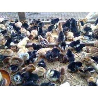 Pakan Ayam Untuk Walet jual bibit ayam kung asli oleh abdi lestari di kendal