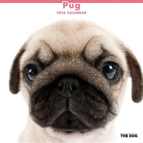 pug puppy calendar pugs dogbreed gifts pug calendars