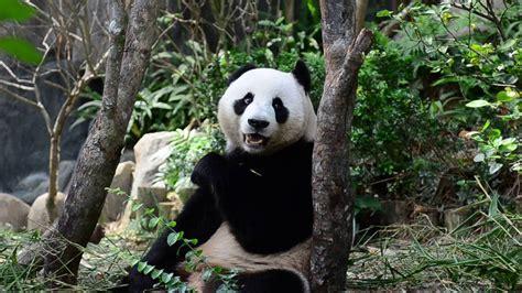 Panda Lucu kumpulan panda lucu banget
