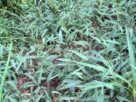 Obat Herbal Air Bambu manfaat rumput bambu ahlinya obat herbal