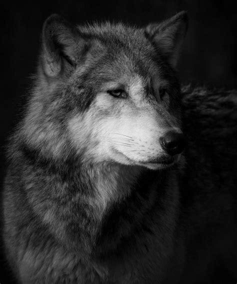Imagenes En Blanco Y Negro De Lobos   ranking de el lobo listas en 20minutos es