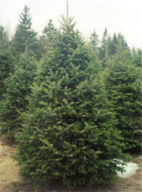 balsam fir fom nova scotia canada the most fragant of