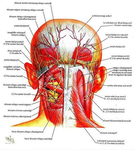 diagram back muscles neck anatomy diagram human anatomy charts