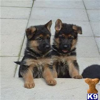 baby german shepherd puppies for sale best 25 puppies for sale ideas on