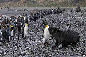 Zany Penguins antarctic penguins square up to seals in battle for survival daily mail