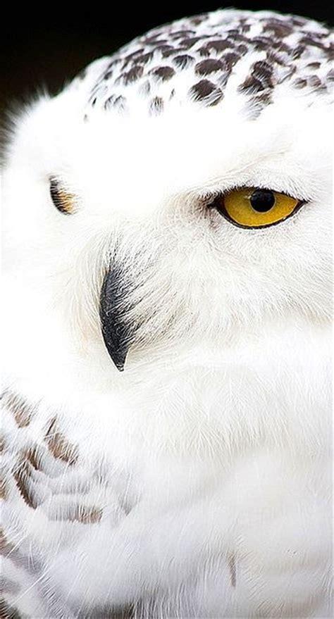 White Owl Meme - 17 best ideas about white owls on pinterest beautiful