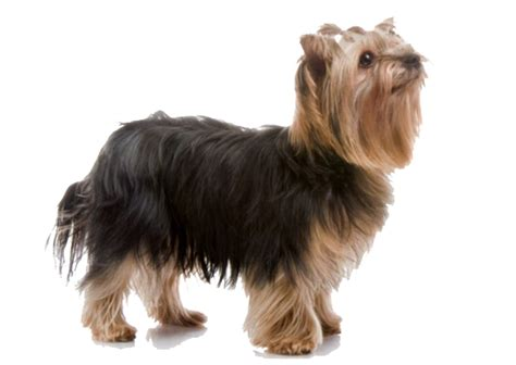 yorkie color variations terrier breed information characteristics facts petcoach