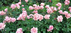 Bed Texture rose growing amp care how to articles fertilize roses