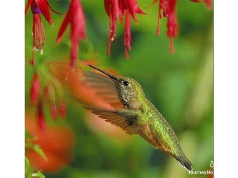 hummingbird migration citizen scientists track