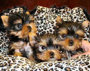 free yorkie adoption free puppies for adoption