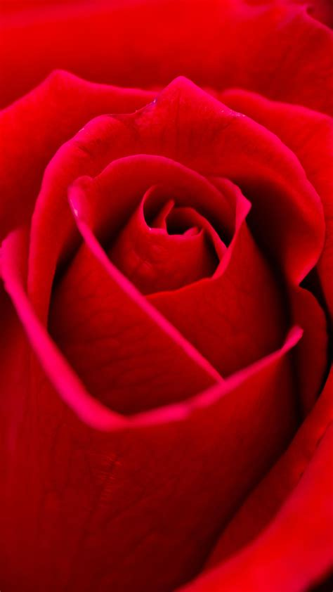 beautiful red rose flower closeup android wallpaper