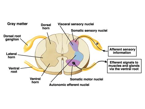 spinal cord cross section anatomy ch 12 spinal cord objectives at mount royal university