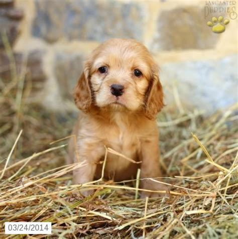 amish puppy mills pa warning cocker spaniel puppy for sale in pennsylvania this is the classic puppy