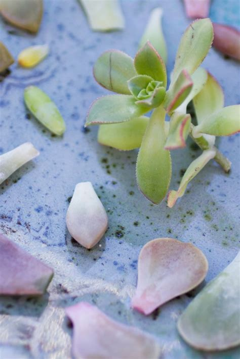 How To Grow Succulents From Leaf Cuttings Lil Blue Boo - how to propagate succulents from leaves succulents and