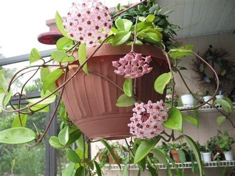 fiori di appartamento fiori di cera piante appartamento caratteristiche dei