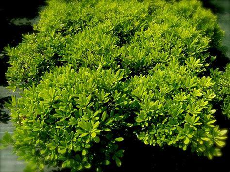 nano giardino pitosforo nano piante da giardino pitosforo nano