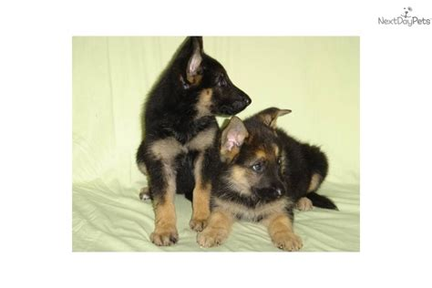 puppies for sale in salisbury md images of bernard puppies for sale in salisbury maryland wallpaper breeds picture