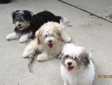 havanese rescue puppies havanese puppies for adoption