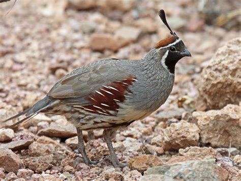 birds of the world new world quail