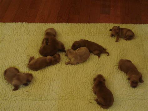 golden retriever puppies for sale in ky golden retriever puppies for sale in kentucky akc