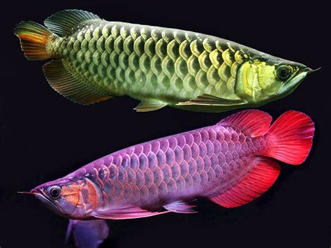 Pompa Akuarium Arwana tips merawat ikan arwana dalam akuarium akuarium ikan hias