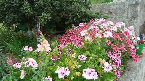 imagenes de jardines con geranios floresamatxo todo sobre las flores consejos para cuidar