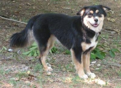 husky australian shepherd mix puppies aussie siberian breed information