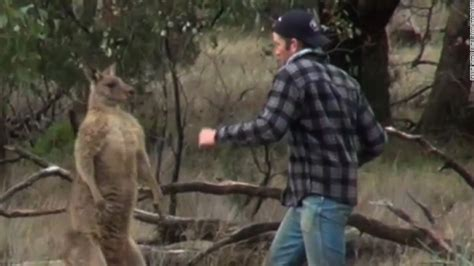 punches kangaroo to save anonymous liked the article shows punch kangaroo to save his in news